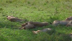 Sueño africano perezoso de los leones debajo de la sombra de un árbol después de comer la presa almacen de metraje de vídeo