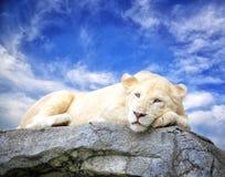 Sueño blanco del león en la roca imagenes de archivo