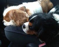 Sueño de dos el pequeño jinetes de rey Charles en el asiento de carro foto de archivo libre de regalías