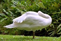 Sueño de Gooses Fotos de archivo
