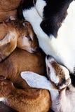 Sueño de la cabra del bebé Fotografía de archivo