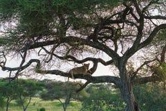 Sueño de la leona en el árbol Tanzania, África Imagen de archivo