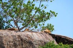 Sueño de los leones en roca en naturaleza foto de archivo libre de regalías