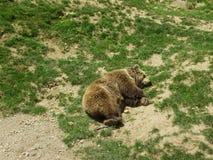 sueño de los osos Imágenes de archivo libres de regalías