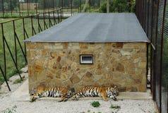 Sueño de los tigres en una jaula Fotografía de archivo