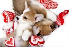 Sueño del corgi de dos perritos imagen de archivo libre de regalías