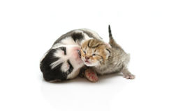 Sueño del gatito y del perrito en el fondo blanco Fotografía de archivo libre de regalías
