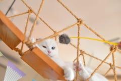 Sueño del gato del doblez del escocés Fotografía de archivo libre de regalías