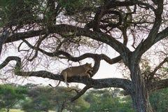 Sueño del león en el árbol Tanzania, África Fotografía de archivo