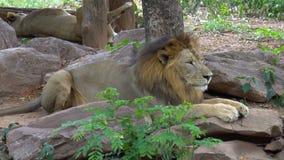 Sueño del león en elegante de piedra almacen de video