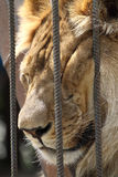 Sueño del león en jaula del parque zoológico Imagen de archivo libre de regalías