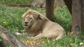 Sueño del león en la hierba elegante metrajes