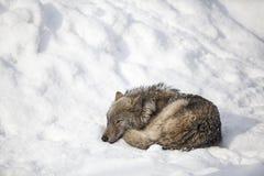 Sueño del lobo Imagenes de archivo