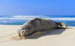 Sueño del monje hawaiano Seal Foto de archivo libre de regalías