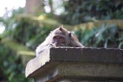 Sueño del mono Imagen de archivo libre de regalías