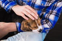 Sueño del perrito del beagle en manos imagen de archivo