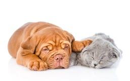 Sueño del perrito de Burdeos con el gato escocés Aislado en el fondo blanco fotografía de archivo