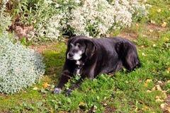 Sueño del perro Foto de archivo libre de regalías
