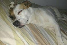 Sueño del perro imagen de archivo libre de regalías