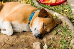 Sueño del perro de Brown fotografía de archivo libre de regalías