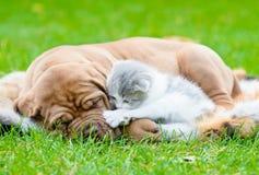 Sueño del perro de perrito de Burdeos con el gatito recién nacido en hierba verde imagenes de archivo