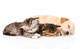Sueño del perro de perrito del golden retriever con dos gatitos británicos Aislado Imagen de archivo libre de regalías
