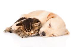 Sueño del perro de perrito del golden retriever con el gatito británico Aislado Imagen de archivo
