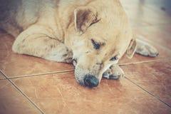 Sueño del perro de Tailandia fotografía de archivo libre de regalías