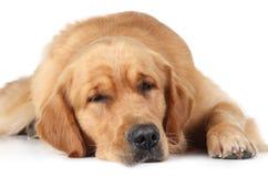 Sueño del perro del perro perdiguero de oro en el suelo Imágenes de archivo libres de regalías