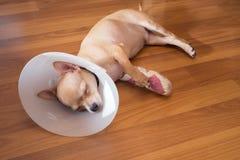 Sueño enfermo del perro Imagen de archivo