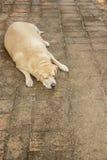 Sueño gordo del labrador retriever en el piso imagen de archivo libre de regalías
