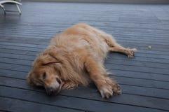 Sueño gordo del labrador retriever imagenes de archivo