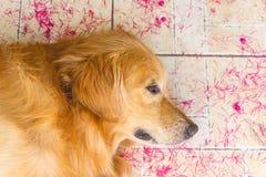 Sueño hermoso del golden retriever del perro en la tierra fotografía de archivo libre de regalías