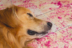 Sueño hermoso del golden retriever del perro en la tierra fotografía de archivo