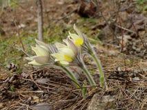 Sueño-hierba, en el Pulsatilla latino Fotos de archivo