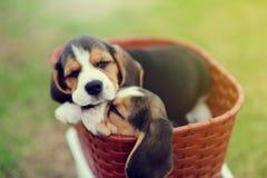 Sueño lindo de los beagles en cesta Foto de archivo