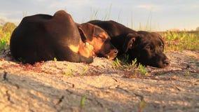 Sueño lindo de los perritos entre el lanzamiento desviado almacen de video