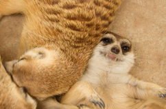 Sueño lindo del meerkat imagen de archivo