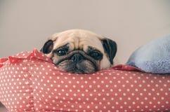 Sueño lindo del perrito del perro del barro amasado del primer que descansa sobre su cama y watchin fotografía de archivo libre de regalías