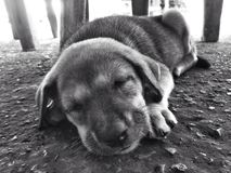 Sueño lindo del perro en el piso Fotografía de archivo