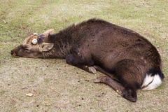 Sueño masculino grande de la asta del corte de los ciervos de Sika y mentira en el parque imágenes de archivo libres de regalías