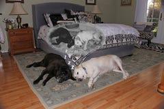 Sueño medio dormido de los hermanos de ser perritos Foto de archivo libre de regalías
