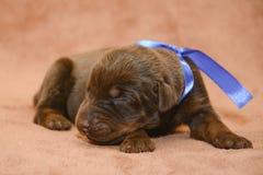 Sueño recién nacido del perrito del browm lindo Foto de archivo libre de regalías