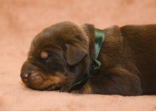 Sueño recién nacido del perrito del browm lindo Foto de archivo