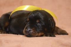Sueño recién nacido negro lindo del perrito Imagen de archivo libre de regalías