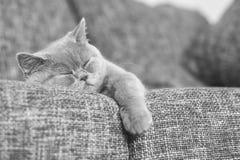 Sueño recto escocés del gatito Fotografía de archivo