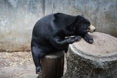 Sueño salvaje de los osos en las charcas Fotos de archivo libres de regalías