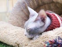 Sueño sin pelo del gato de Sphynx en cama marrón de la piel Imagen de archivo