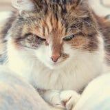 Sueño tricolor del gato Imagenes de archivo