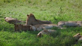 Sueño y resto africanos perezosos de los leones debajo de la sombra de un árbol después de comer la presa almacen de metraje de vídeo